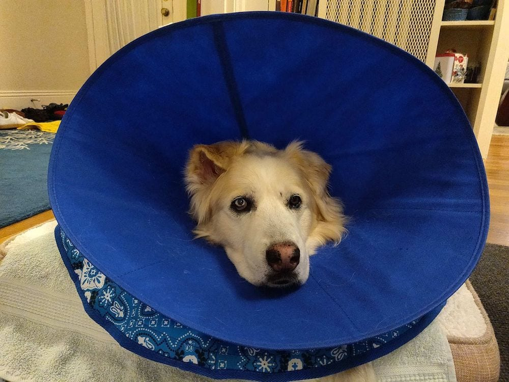 Cheddar on his bed with two cones